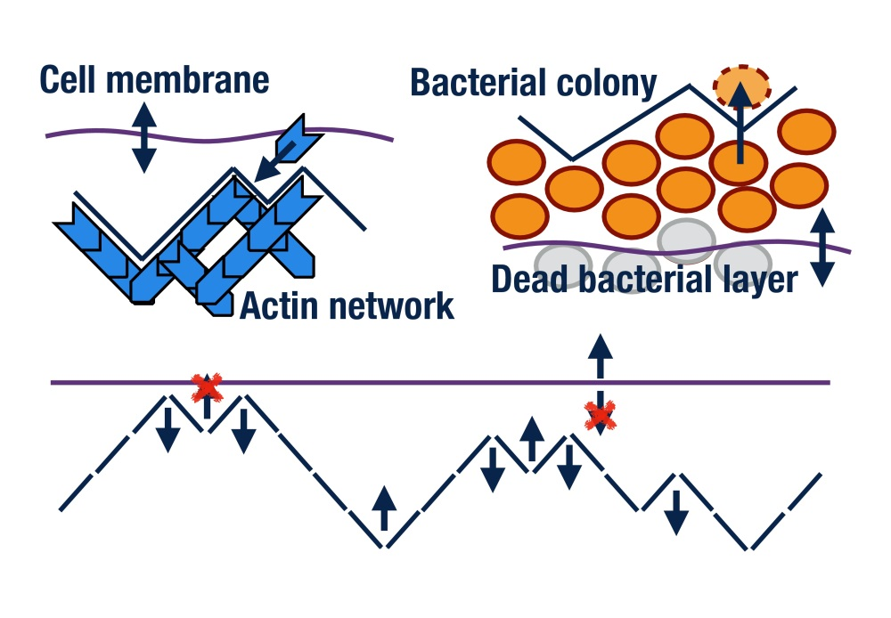 Top left: actin network with leading interface interacting with a cell membrane. Top right: bacterial colony growth of live cells at an interface with a dead layer following behind. Bottom figure: Membrane-interface model and mapping to an exclusion process.
