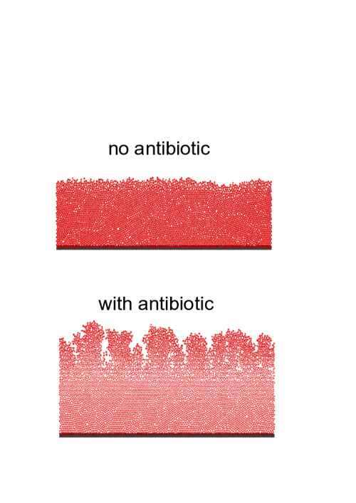 We can see that the biofilm structure is strongly affected by the antibiotic.