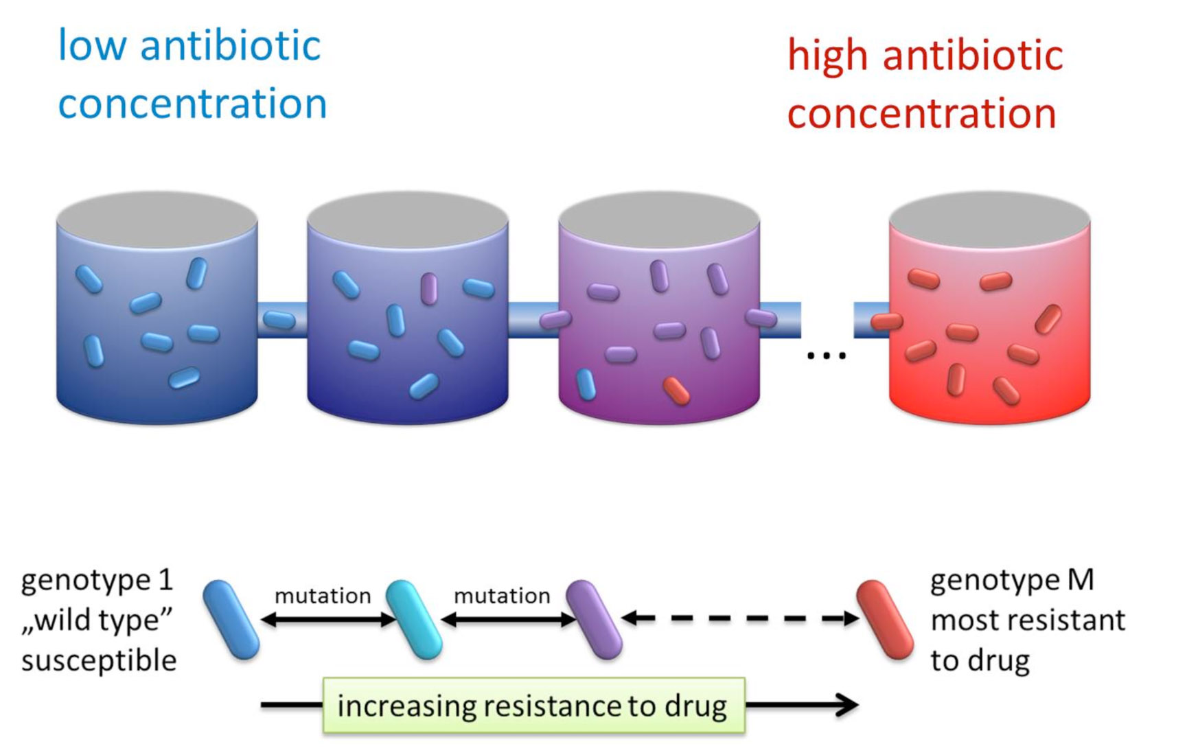 "The bacteria grow in a series of connected microenvironments, and the antibiotic concentration increases from left to right. The bacteria can mutate, from a ""wild type"" which is susceptible to the antibiotic, through a spectrum of intermediate-resistant mutants, to the most-resistant mutant."